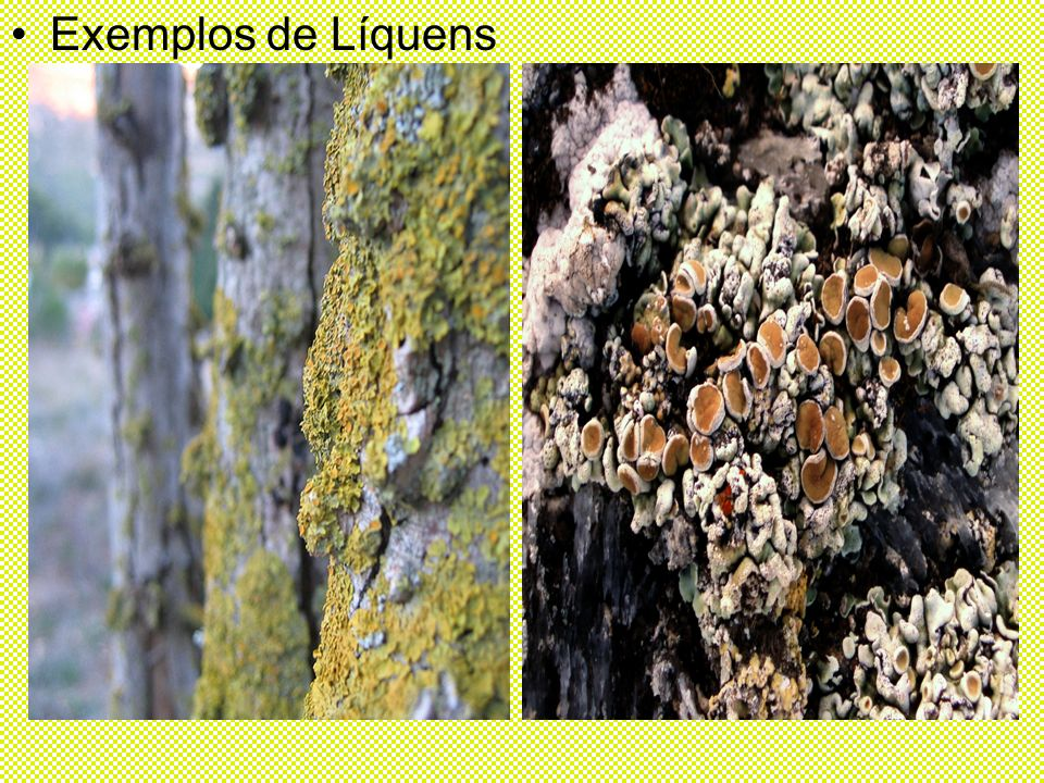 Exemplos de Líquens