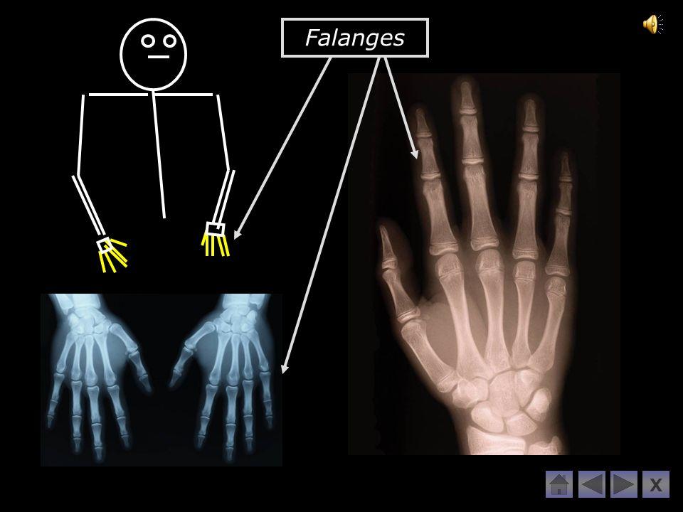 Falanges X