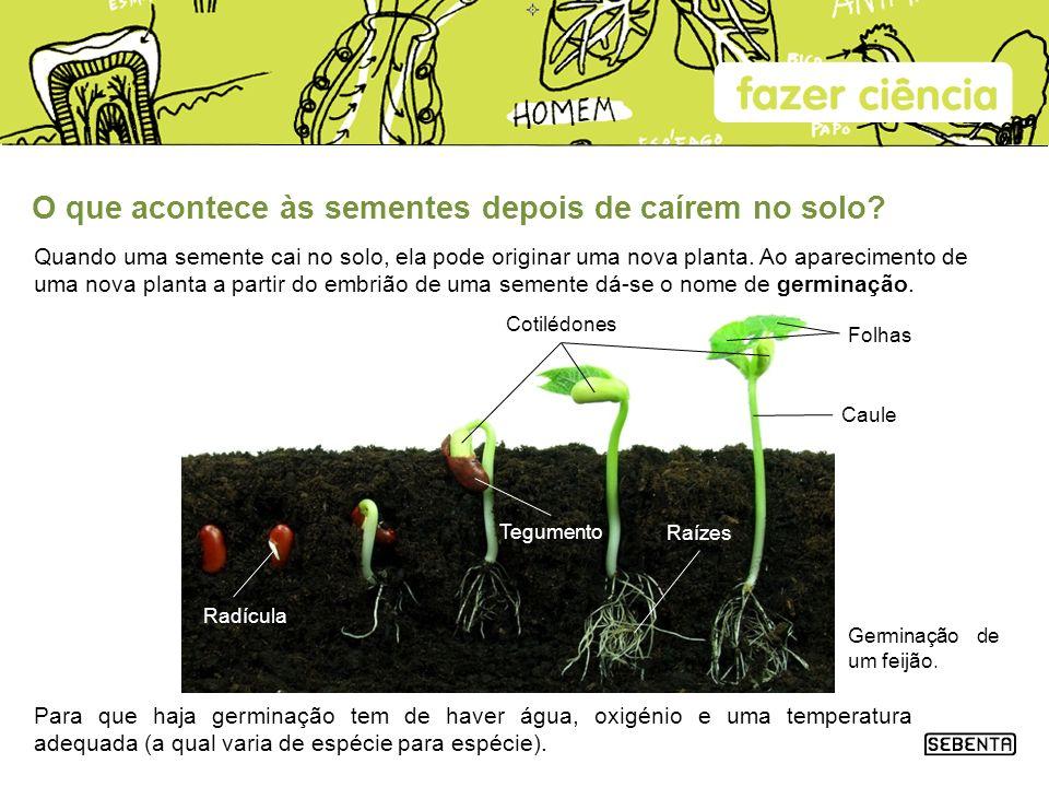 O que acontece às sementes depois de caírem no solo