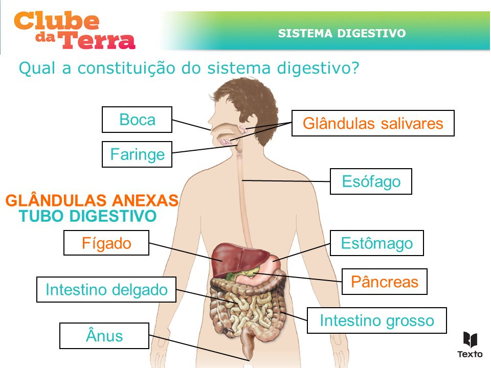 Qual a constituição do sistema digestivo