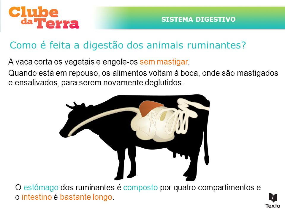 Como é feita a digestão dos animais ruminantes