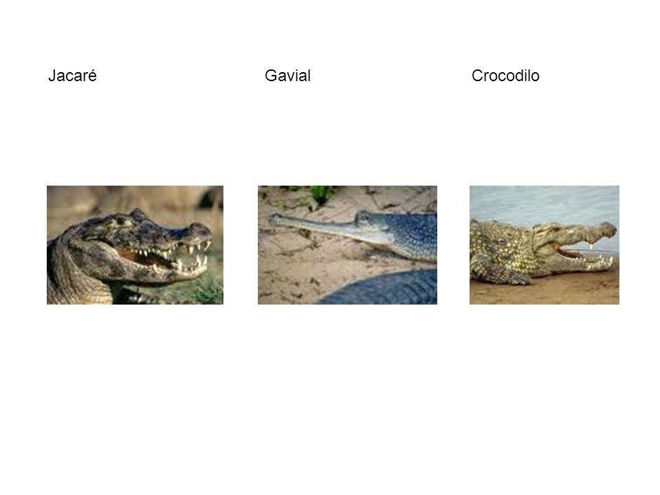 Jacaré Gavial Crocodilo