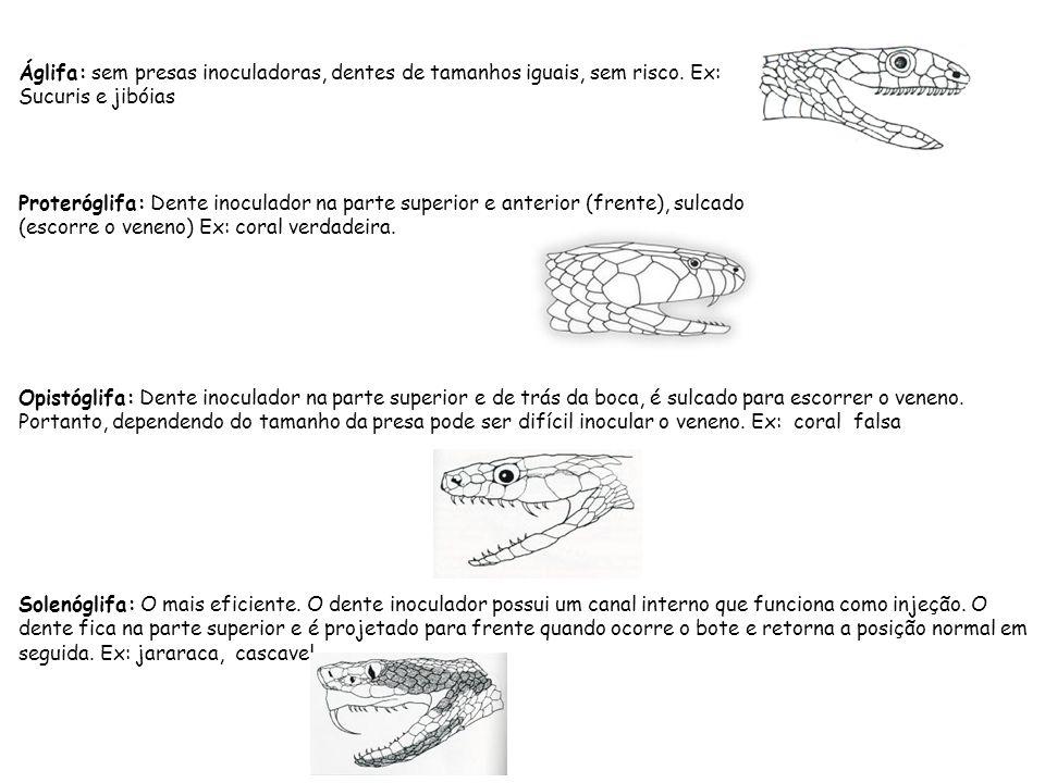 Áglifa: sem presas inoculadoras, dentes de tamanhos iguais, sem risco