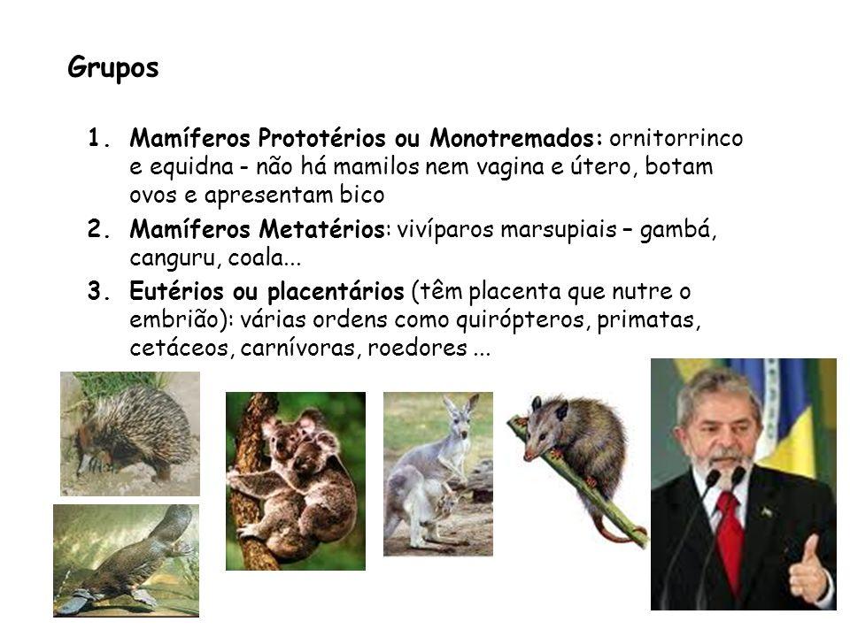 Grupos Mamíferos Prototérios ou Monotremados: ornitorrinco e equidna - não há mamilos nem vagina e útero, botam ovos e apresentam bico.