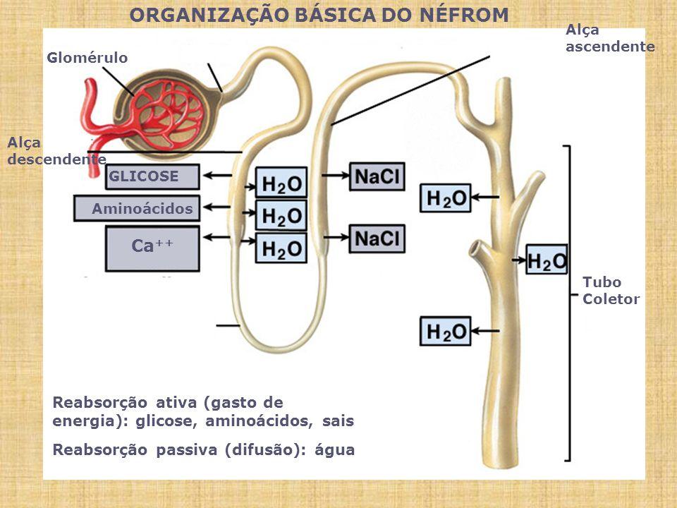 ORGANIZAÇÃO BÁSICA DO NÉFROM