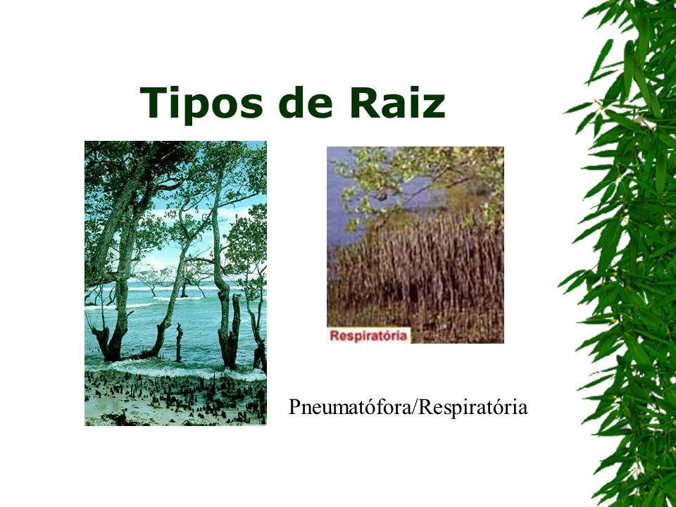 Tipos de Raiz Pneumatófora/Respiratória