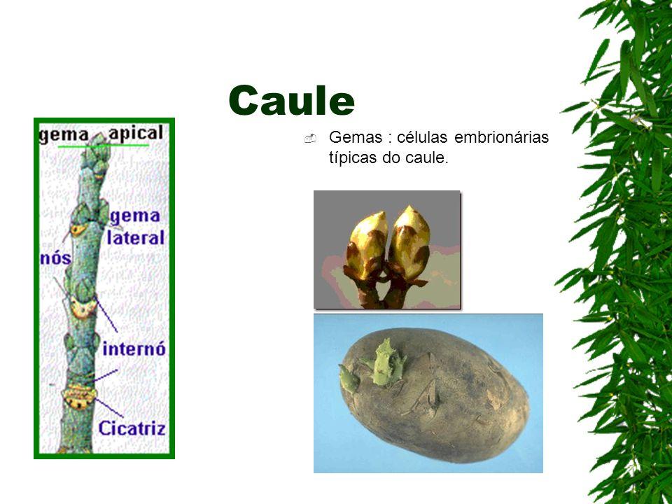 Caule Gemas : células embrionárias típicas do caule.