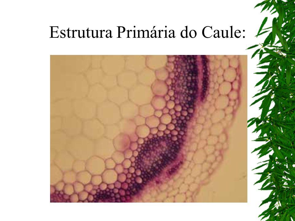 Estrutura Primária do Caule: