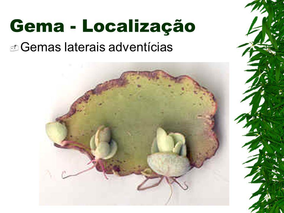 Gema - Localização Gemas laterais adventícias