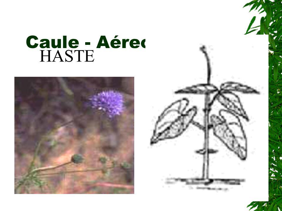 Caule - Aéreo - ereto HASTE