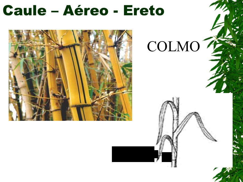 Caule – Aéreo - Ereto COLMO
