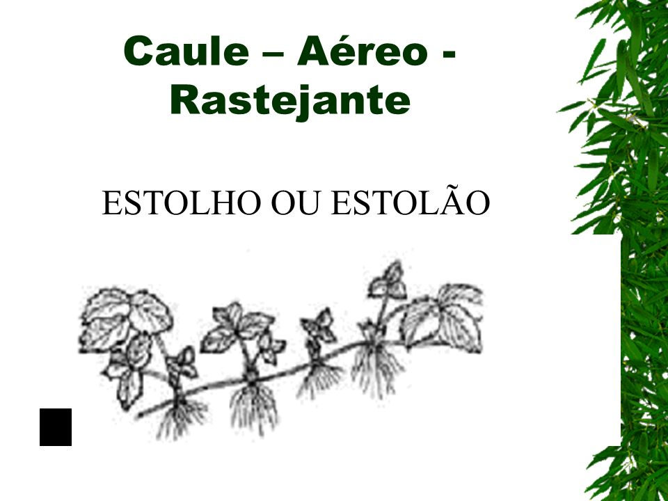 Caule – Aéreo - Rastejante