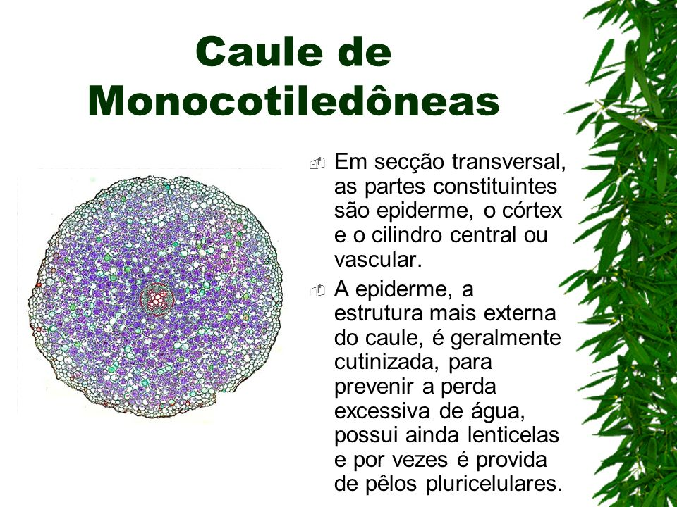 Caule de Monocotiledôneas