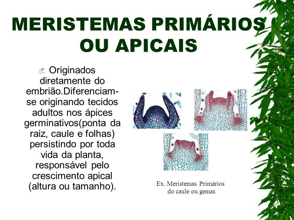 MERISTEMAS PRIMÁRIOS OU APICAIS