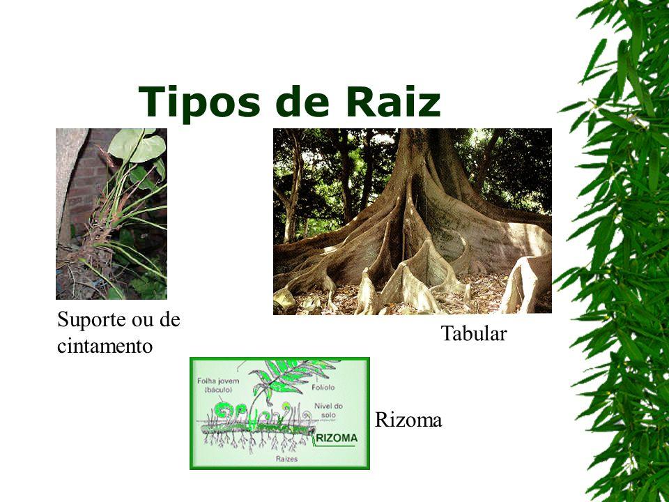 Tipos de Raiz Suporte ou de cintamento Tabular Rizoma