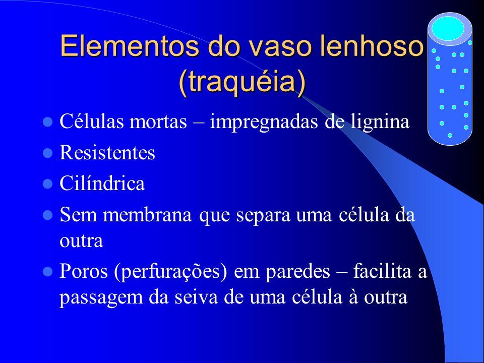 Elementos do vaso lenhoso (traquéia)