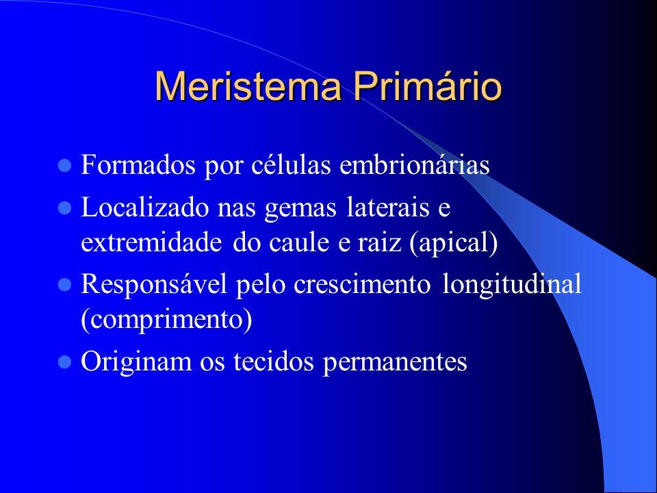 Meristema Primário Formados por células embrionárias