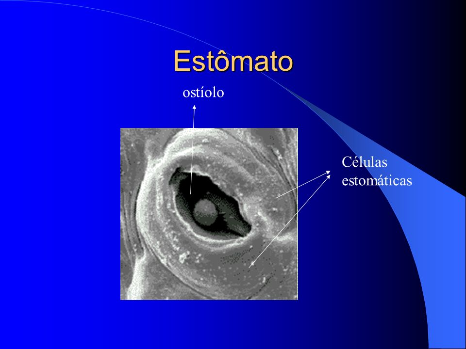 Estômato ostíolo Células estomáticas