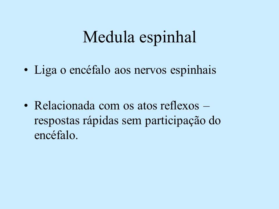 Medula espinhal Liga o encéfalo aos nervos espinhais