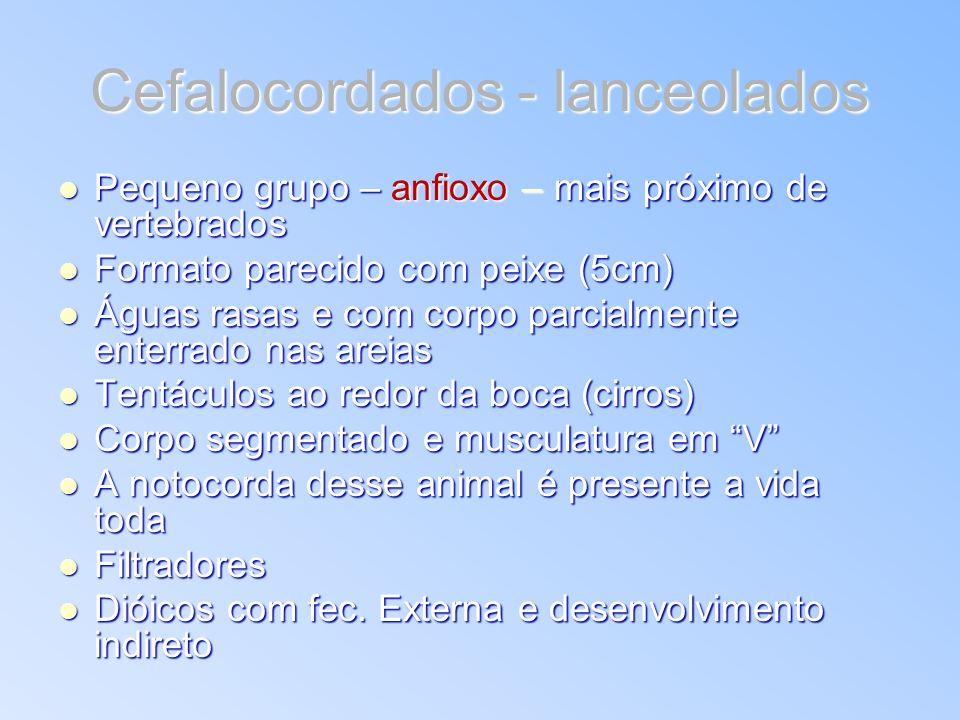Cefalocordados - lanceolados