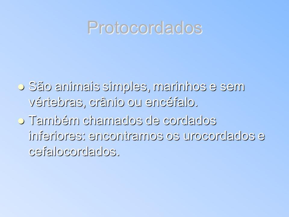 Protocordados São animais simples, marinhos e sem vértebras, crânio ou encéfalo.