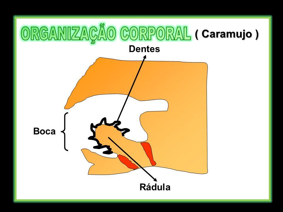 ORGANIZAÇÃO CORPORAL ( Caramujo ) Dentes Boca Rádula
