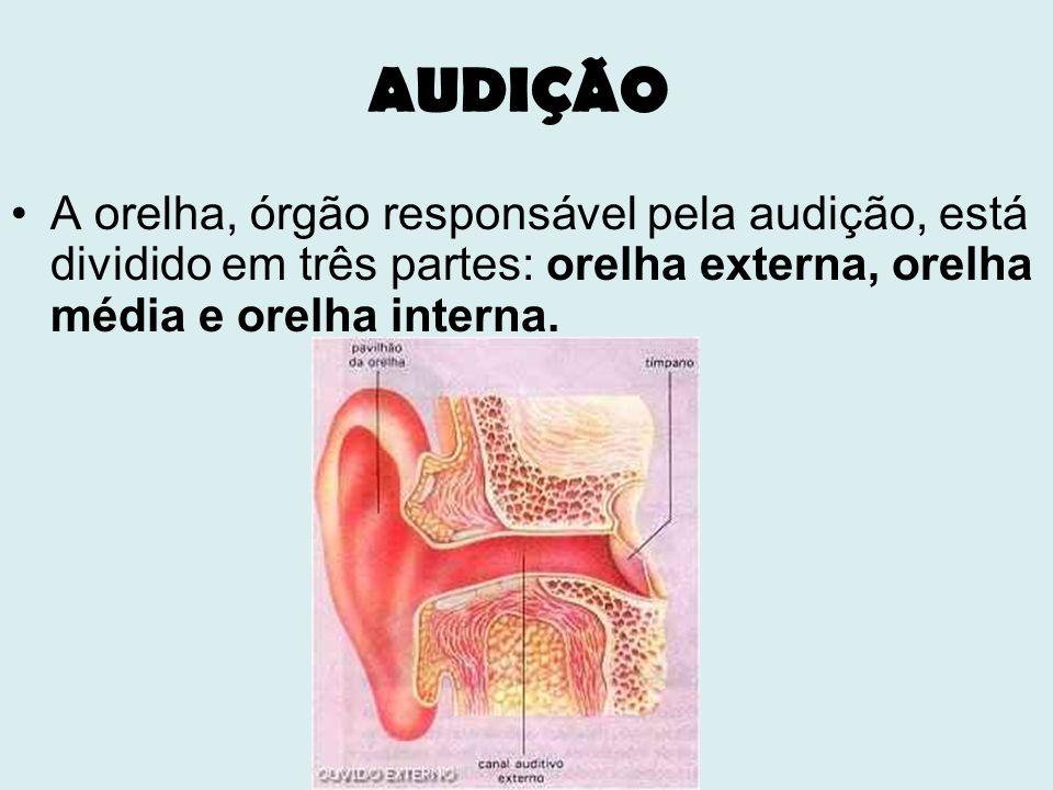 AUDIÇÃO A orelha, órgão responsável pela audição, está dividido em três partes: orelha externa, orelha média e orelha interna.