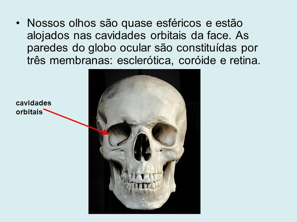 Nossos olhos são quase esféricos e estão alojados nas cavidades orbitais da face. As paredes do globo ocular são constituídas por três membranas: esclerótica, coróide e retina.
