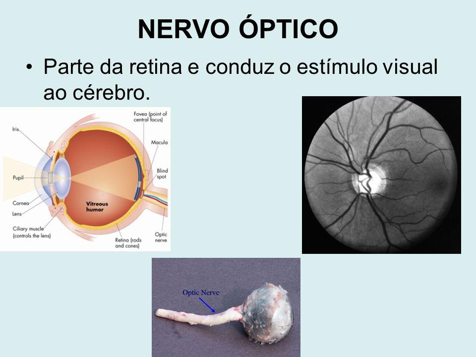 NERVO ÓPTICO Parte da retina e conduz o estímulo visual ao cérebro.
