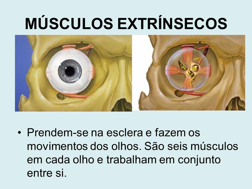 MÚSCULOS EXTRÍNSECOS Prendem-se na esclera e fazem os movimentos dos olhos.