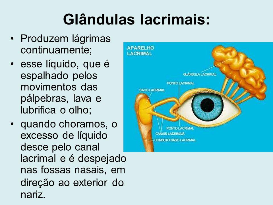 Glândulas lacrimais: Produzem lágrimas continuamente;