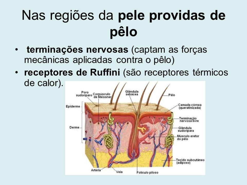 Nas regiões da pele providas de pêlo