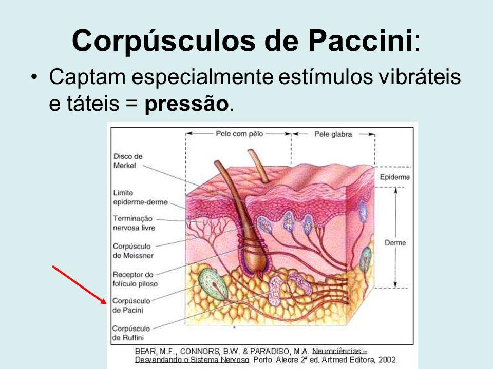 Corpúsculos de Paccini: