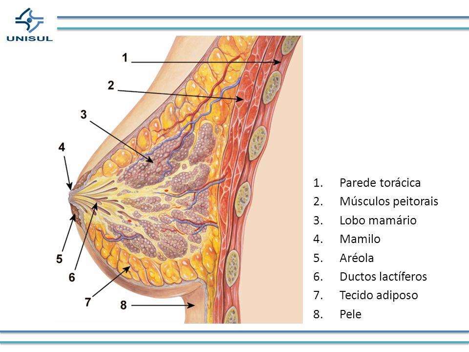 Parede torácica Músculos peitorais Lobo mamário Mamilo Aréola Ductos lactíferos Tecido adiposo Pele