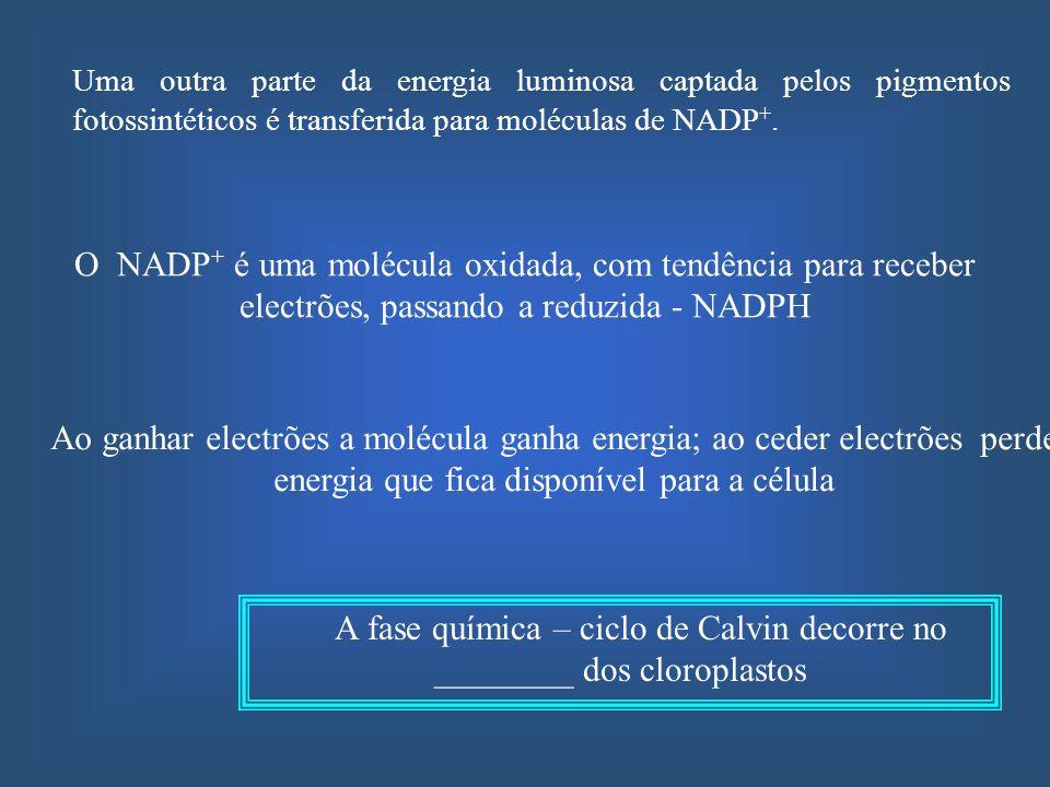 A fase química – ciclo de Calvin decorre no ________ dos cloroplastos