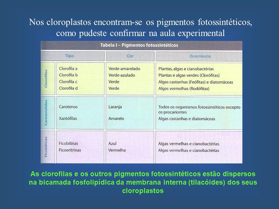 Nos cloroplastos encontram-se os pigmentos fotossintéticos, como pudeste confirmar na aula experimental
