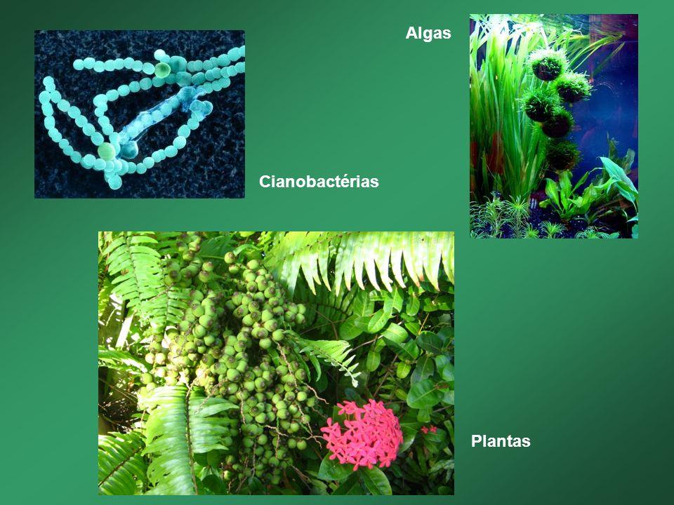 Algas Cianobactérias Plantas