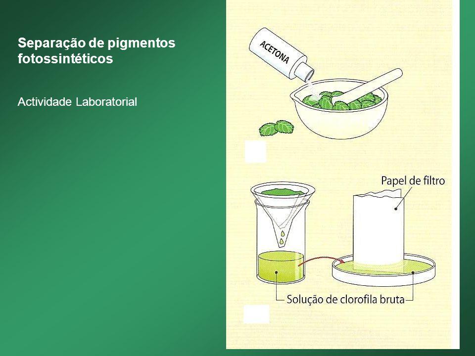 Separação de pigmentos fotossintéticos