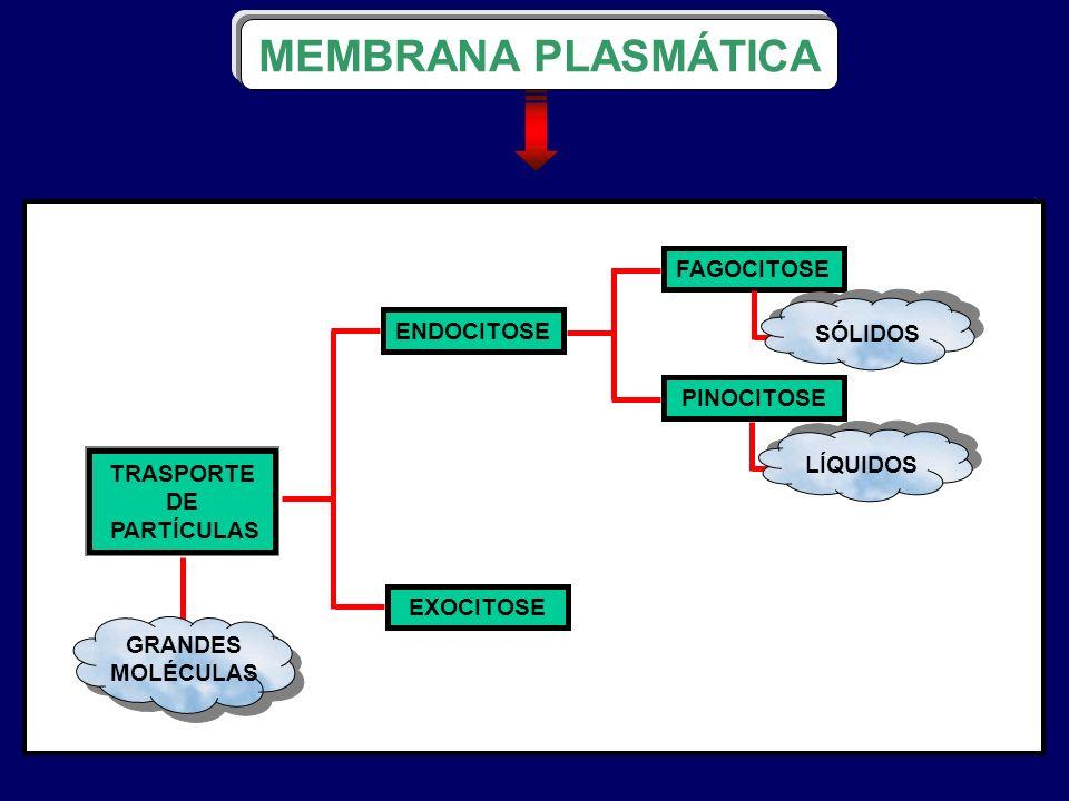 MEMBRANA PLASMÁTICA FAGOCITOSE ENDOCITOSE SÓLIDOS PINOCITOSE LÍQUIDOS
