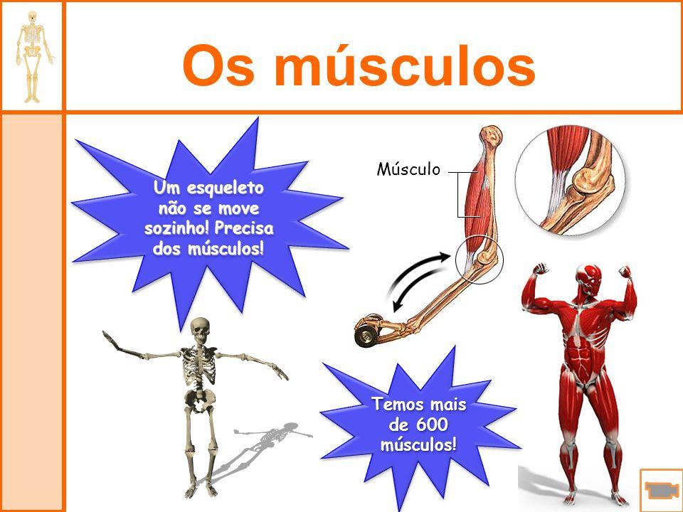 Um esqueleto não se move sozinho! Precisa dos músculos!