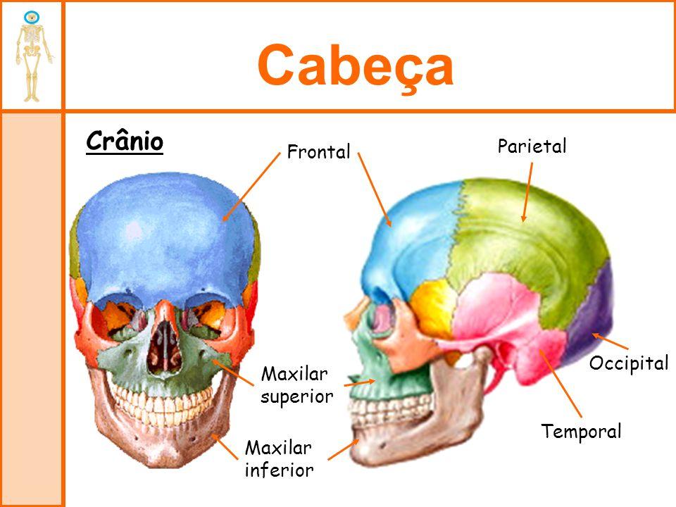 Cabeça Crânio Parietal Frontal Occipital Maxilar superior Temporal