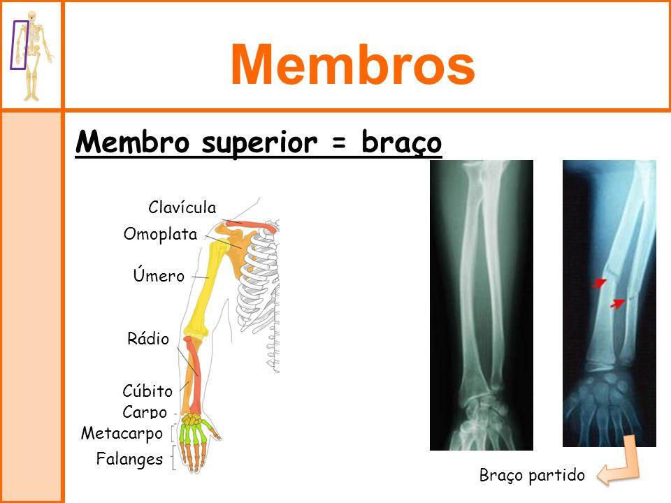 Membros Membro superior = braço Clavícula Omoplata Úmero Rádio Cúbito