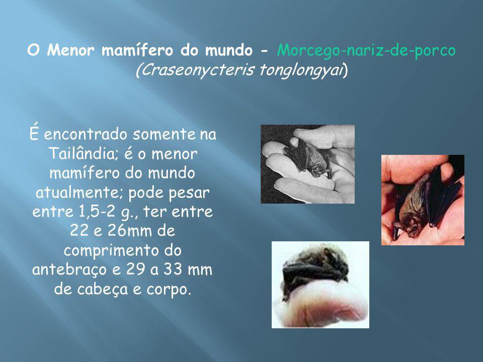 O Menor mamífero do mundo - Morcego-nariz-de-porco (Craseonycteris tonglongyai)