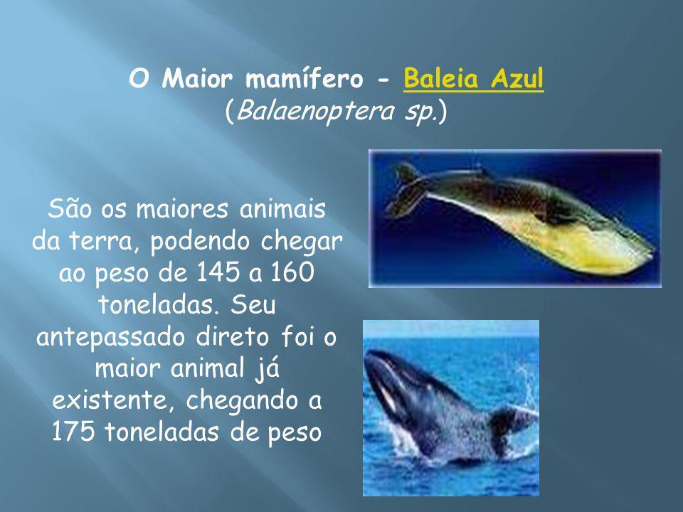 O Maior mamífero - Baleia Azul (Balaenoptera sp.)