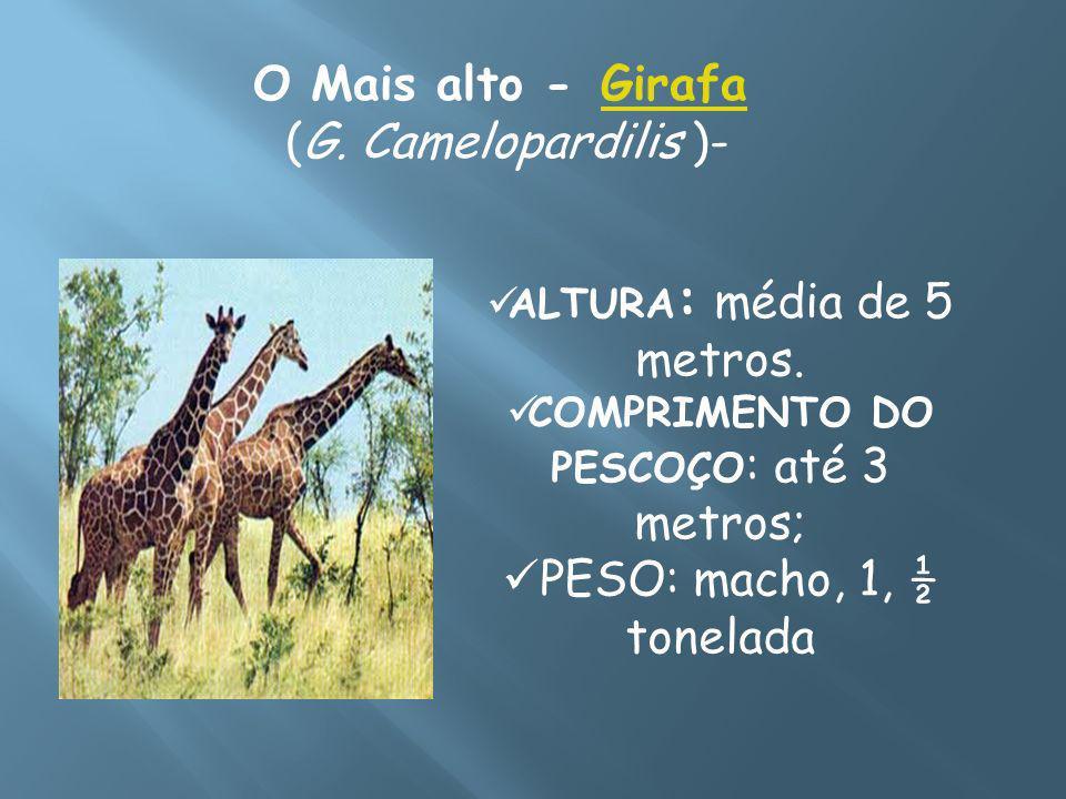 O Mais alto - Girafa (G. Camelopardilis )- PESO: macho, 1, ½ tonelada