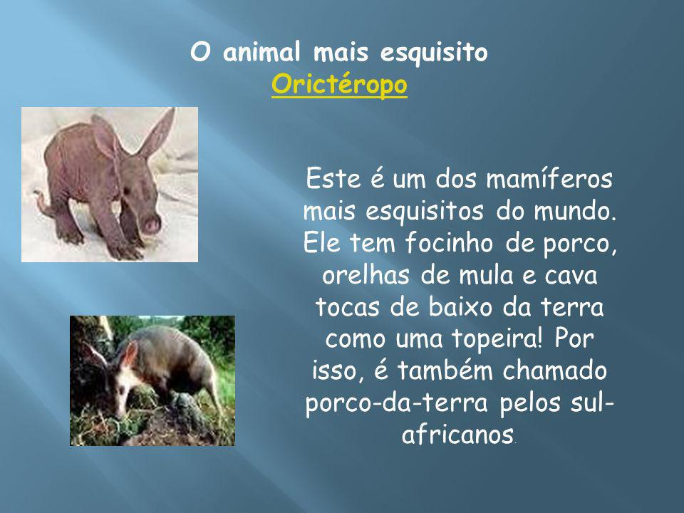 O animal mais esquisito Orictéropo