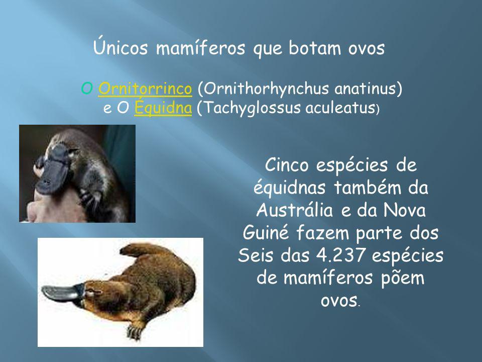 Únicos mamíferos que botam ovos