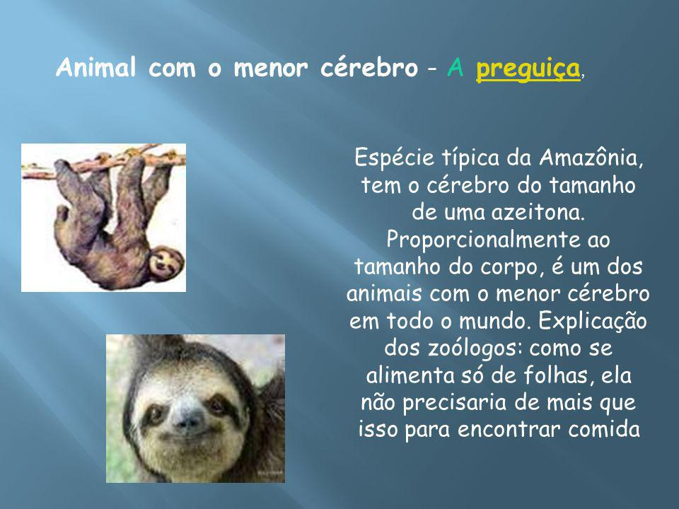 Animal com o menor cérebro - A preguiça,