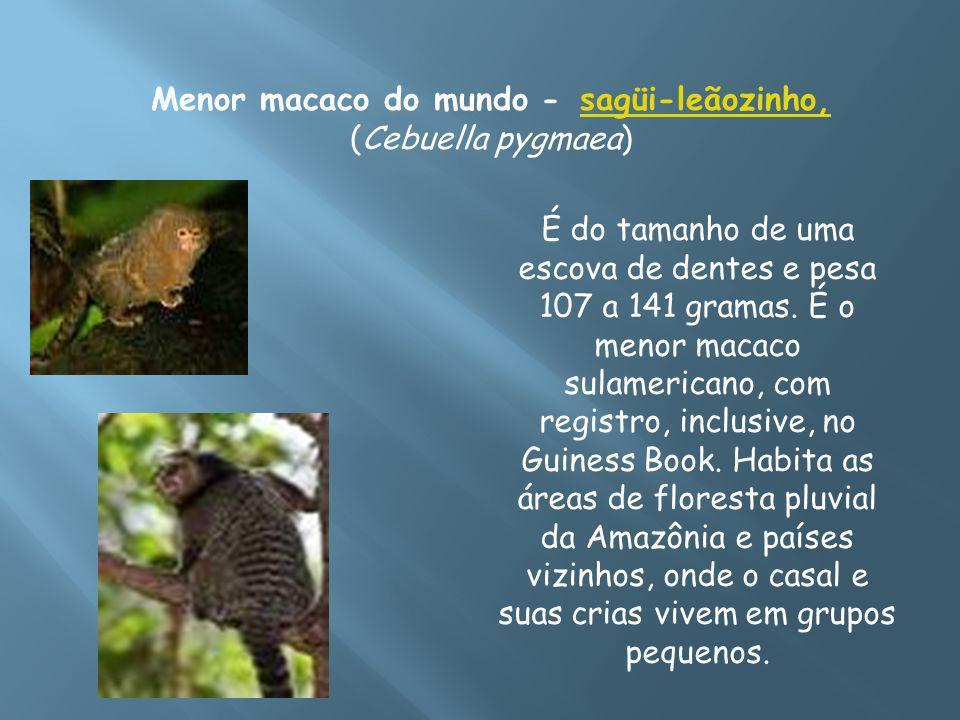 Menor macaco do mundo - sagüi-leãozinho, (Cebuella pygmaea)