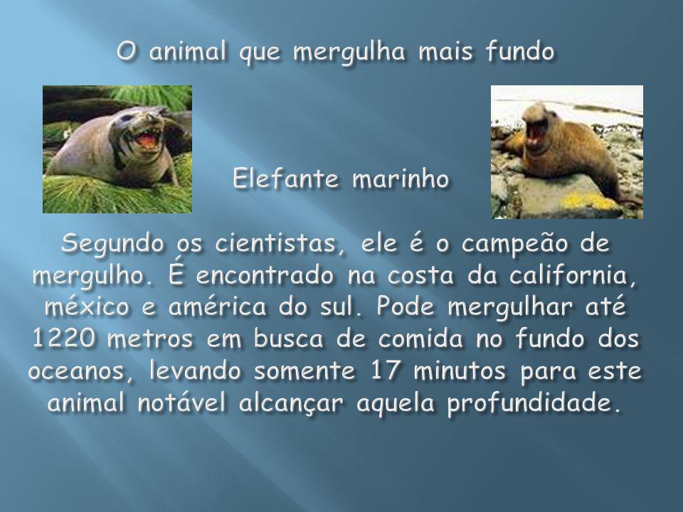O animal que mergulha mais fundo Elefante marinho Segundo os cientistas, ele é o campeão de mergulho.